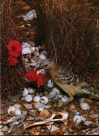 One of my favorite animals. Bowerbirds build these nests and decorate them with flowers and shells in order to attract a female.