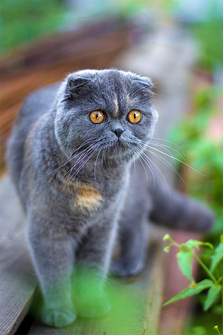схемы фото кошек шотландцев вислоухих находится как
