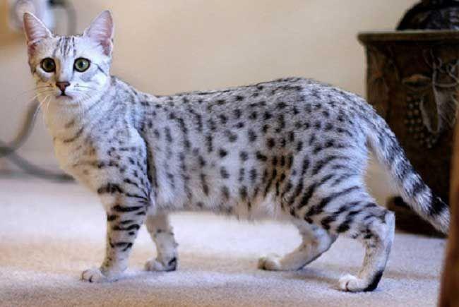 кошка египетская мау фото