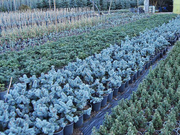 mavi ladin üretimi