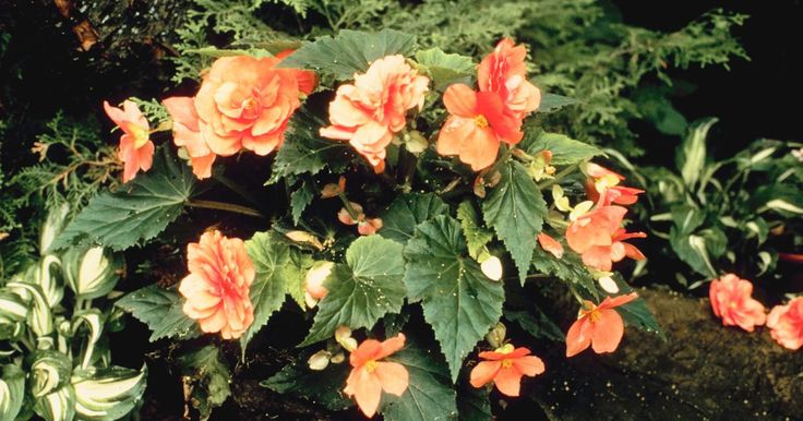 Como cultivar begonias a partir de una planta de begonias. Las begonias son apreciadas como plantas caseras y como agregados coloridos de los jardines de flores. Son de fácil propagación, aunque no se puede emplear cualquier tipo de propagación para cada uno de los tipos de esta flor. Asegúrate de entender lo básico sobre la variedad de begonia que vas a cultivar. Cuando la propagues, mantén tu lugar de ...