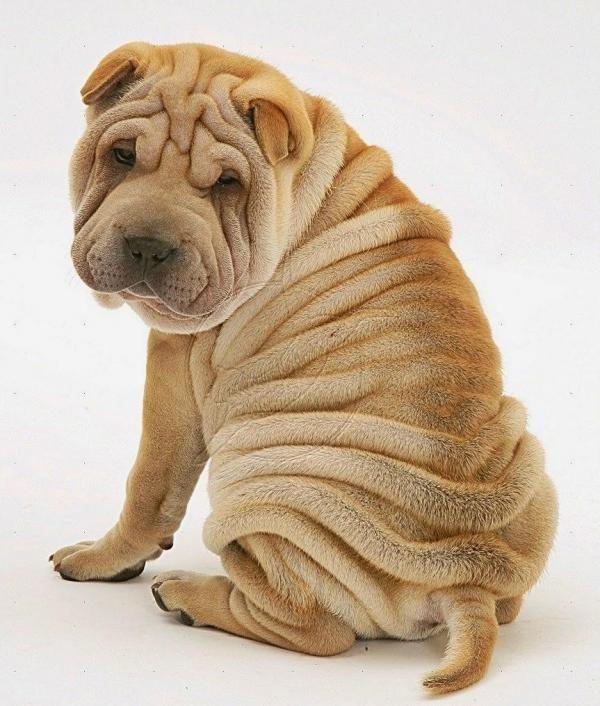 Esses cachorros são uma perdição com essas rugas! :) #cachorros #cães #animais #raças #sharpei