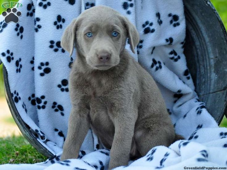 Marvella, Silver Lab puppy for sale in Strasburg, Pa