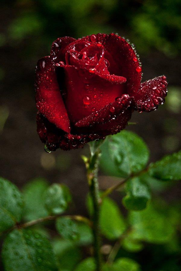 single dark red rose there is nothing more sensual than this.