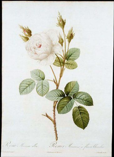 White Moss Rose ** Find out more about the great product at the image link.