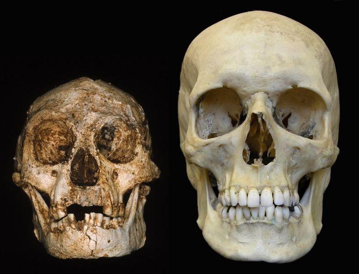 Schädel eines Homo floresiensis (li.) und eines modernen Menschen (re.): Homo...