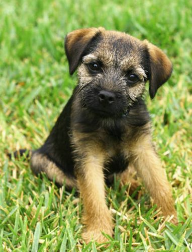 Border terriers are cute