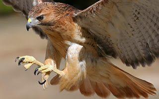 عالم الحيوان اجمل اشكال وانواع النسور فى العالماجمل صور نسور النسر Eagleأكبر أنواع النسور في العالم صور نس Birds Of Prey Humming Bird Feeders Red Tailed Hawk