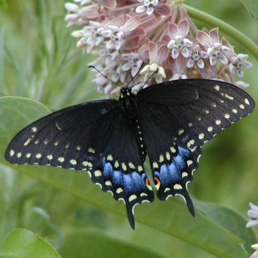 26 best images about BUTTERFLIES on Pinterest | Gardens ...