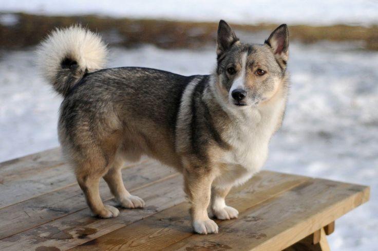 """Vallhund sueco """"Este perro, también conocido como el """"perro Vikingo"""", tiene su origen en Suecia en el siglo XIX. Originalmente se usaba como perro de granja para proteger al ganado, cazar roedores y cuidar del hogar. En 1942, la raza casi se extingue, pero fue gracias a un programa de reproducción que se impidió su desaparición. Estos perros, también denominados """"Pastor sueco"""", tienen muy buen temperamento, mucha energía y necesitan ejercitarse con frecuencia. """"   Västgötaspets_hane_5_år"""