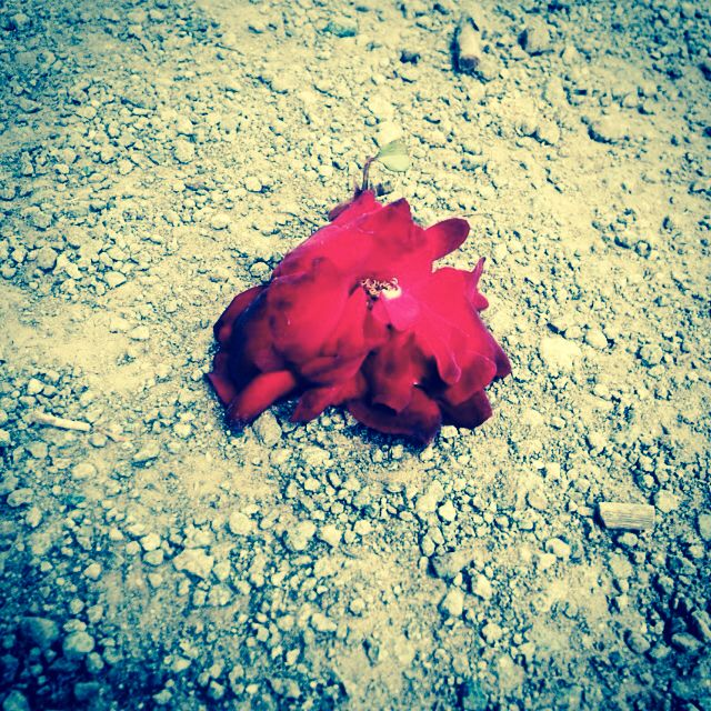 Rose on the ground! #shotOfTheAweaomeness