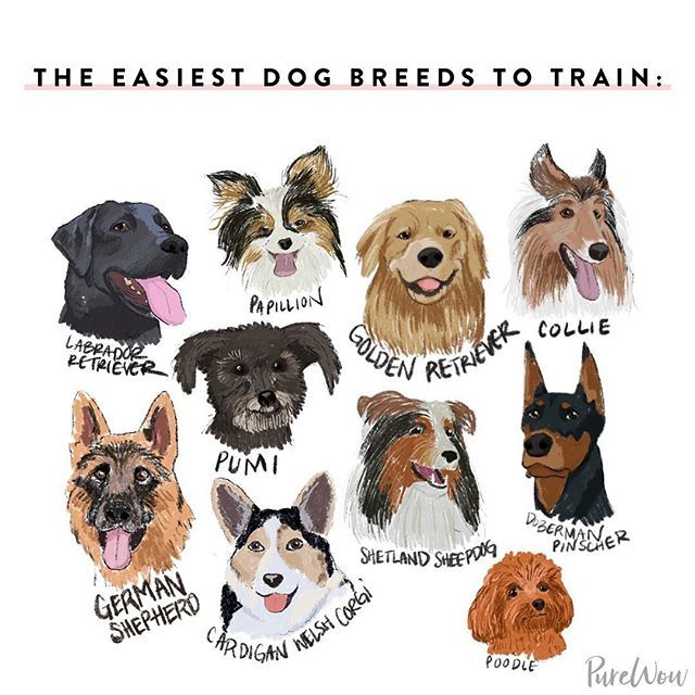 The 10 Easiest Dog Breeds To Train Dog Breeds Animals Pets Dogs
