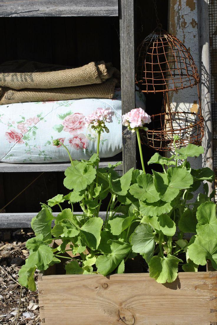 pelargonie - Geranium. http://lonnisverden.blogspot.dk/2015/08/mit-kreative-vrksted-i-haven.html