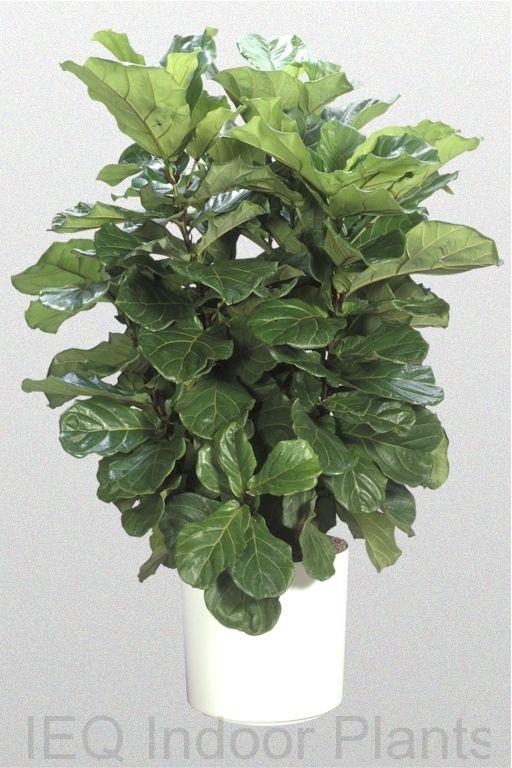 ficus lyrata u0027fiddle leaf figu0027 a great indoor plant if you want the best indoor treesindoor