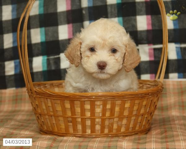 Havanese Puppies for Sale in PA | Ridgewood's Havanese ...