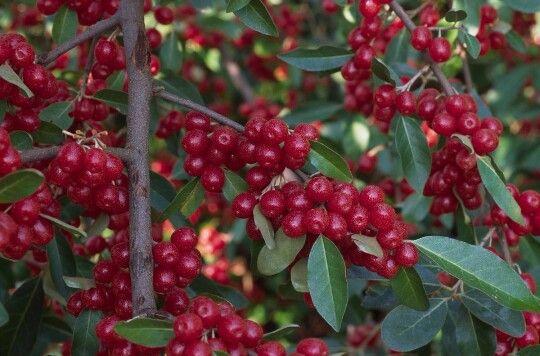 Autumn Olives