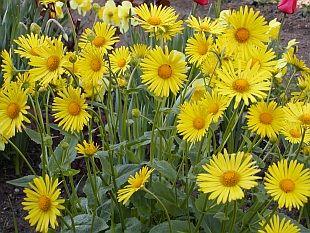 Nenáročné kvetoucí trvalky: Doronicum orientale - kamzičník východní