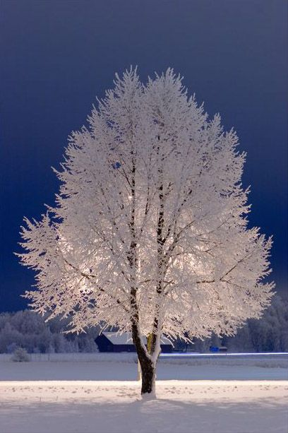 Snow Tree, Stockholm. What a beautiful colour contrast of the white snow and deep blue sky.
