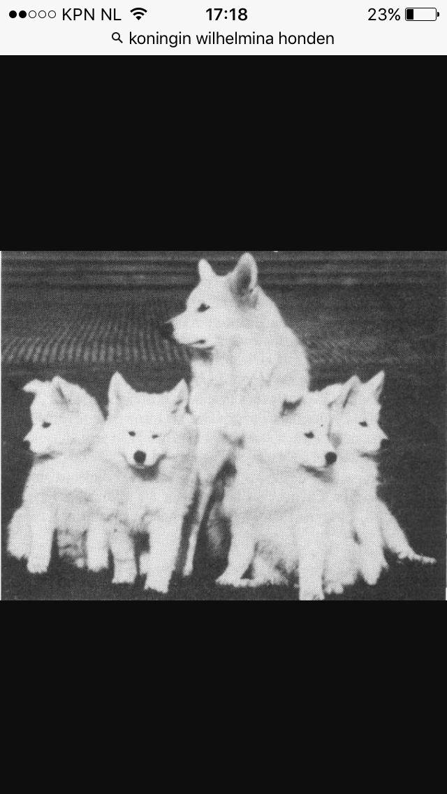 De koninklijke honden van koningin Wilhelmina de prachtige trotse honden de samojeed