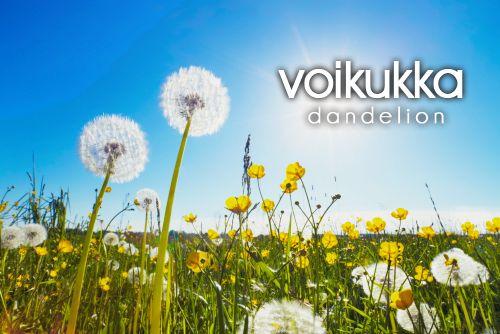 voikukka ~ dandelion