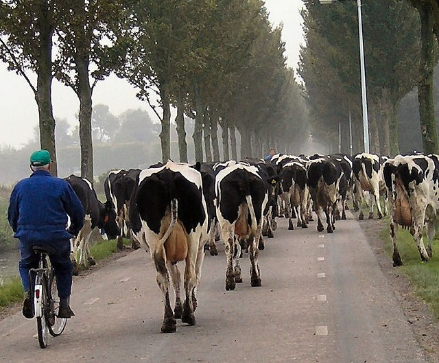 farmer herding his cows on bike...very dutch (When I lived there, we drove the sheep from one pasture to another on an early Sunday morning...neighbors came out to wave them on and out of flowers.  MBG - 12/06/13)
