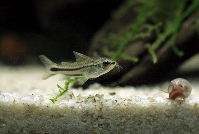 Schade, dass mein Aquarium schon voll besetzt ist, gerade auch in der mittleren Wasserschicht. Ein Schwarm von 20 Corydoras pygmaeus würde sich bestimmt toll machen!