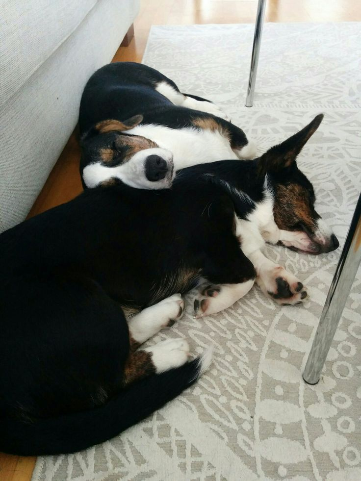 If You Be My pillow, i'll Be your blanket. Sister and brother, Miina & Manu Welsh corgi cardigan tricolor.