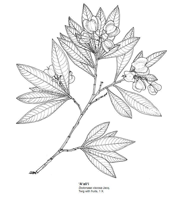 Hawaiian Flower Drawings In Pencil Gallery for hawaiian flowers