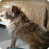 Miniature Schnauzer/Terrier (Unknown Type, Small) Mix Dog for adoption in Houston, Texas - Barnaby