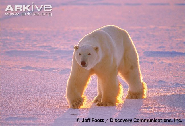 The polar bear is the largest living land carnivore. Non-retractable claws act like ice-picks, and the soles of the feet act like suction cups so the polar bear can easily walk on ice. Pregnant female polar bears can survive without feeding for eight months. With an incredible sense of smell, the polar bear is able to detect prey nearly a kilometer away and up to a meter under snow.