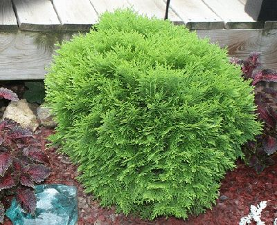 17 best images about conifers on pinterest gardens for Short evergreen trees