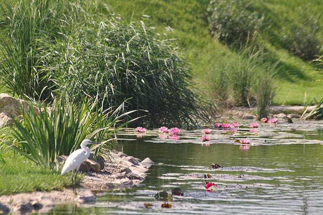 Gradina cu lac, amenajare gradina de mari dimensiuni, iaz, lac artificial, micro habitat. Arhitect Peisagist Alexandru Gheorghe. Lake garden, pond, birds, water garden, fish pond, garden design romania.