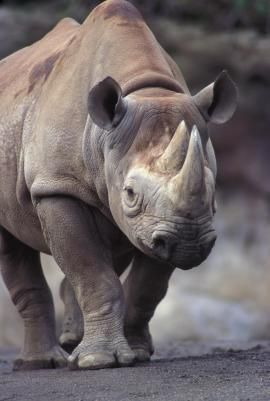 Black rhinoceros | Oregon Zoo