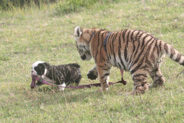Taking a tiger for a walk ♥Photos, Bulldogs Puppies, Cat, Friends, Funny Animal Pictures, Puppies Walks, Pets, Kids, Tigers Cubs