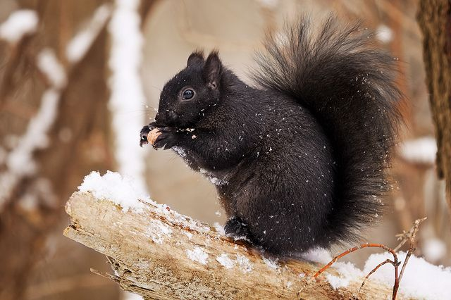Black Squirrel | Flickr - Photo Sharing!   ---    Marysville, Kansas is noted for the abundance of black squirrels