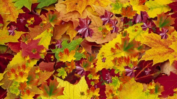 Футаж Желтые, красные листья по ветру вьются, летят HD