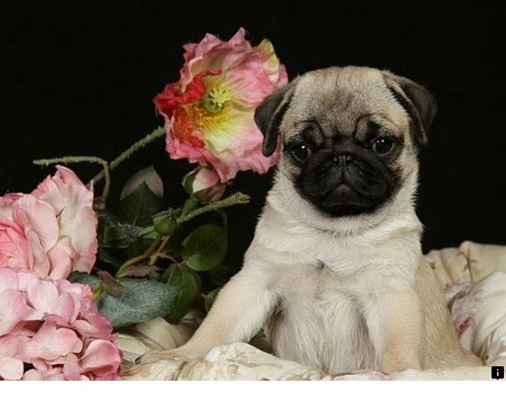 Visit The Webpage To Learn More On Black Pugs For Sale Near Me