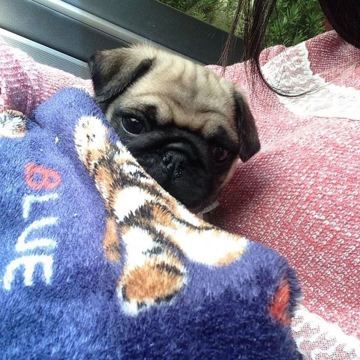 A pug a day everyday forever💙  All credit goes to the owners 💝 Tag if you know them 💝  #pugdaily #pugs #pug #cute #puglover
