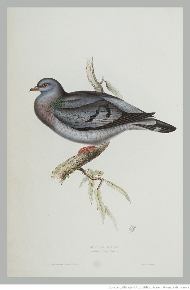 pl.244 : Stock Dove, Columba oenas (Linn.)/Drawn from Life and on Stone by John and Elizabeth Gould. [Cote : D10250]