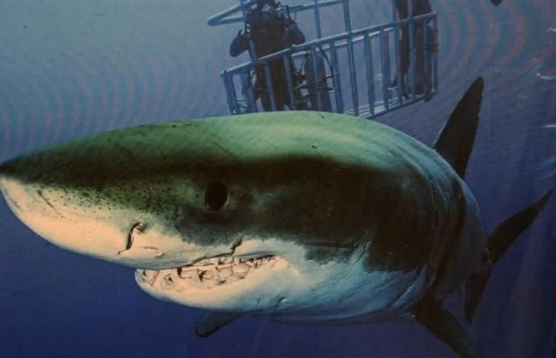 Video: Diving for great white sharks