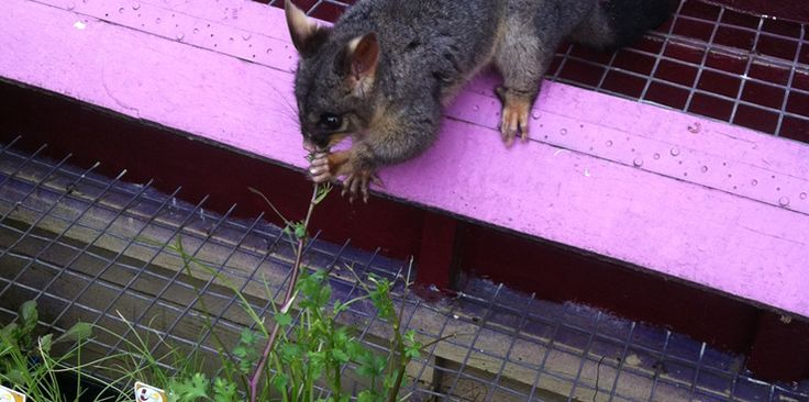 1000 images about possum problems on pinterest gardens - How to get rid of possums in the garden ...