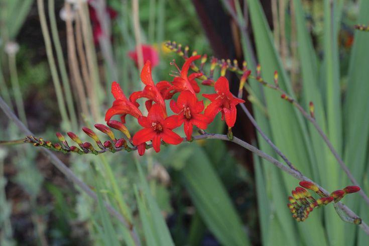 Crocosmia - x crocosmiiflora 'Lucifer' - Montbretia or Sword Lily Bulbs for sale