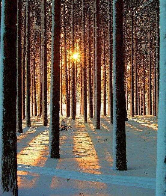 SVEZIA alberi di pino