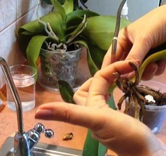 Remek trükkök az orchidea újraélesztéséhez!