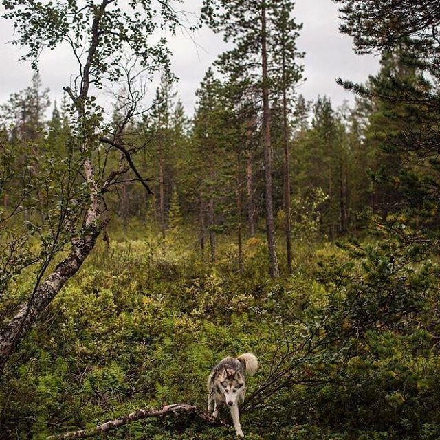 Finnish Lapland. Princess navigates the boggy terrain on Lake Ounasjärvi. Photo: Kirsten Luce.