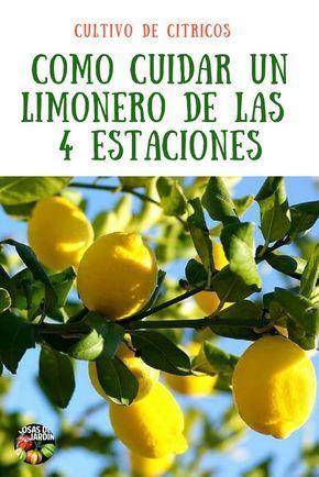 Como cuidar un limonero de las 4 estaciones