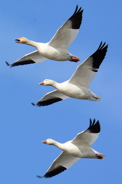 Snow Geese Blackwater Wildlife Refuge Cambridge,  MD 02 /22/2014