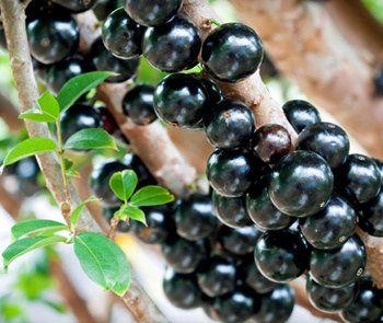 Jaboticaba...Originar din sud-estul Braziliei, Jaboticaba este neobisnit prin faptul ca fructele sale cresc direct pe trunchi sau crengi. Fructele de un violet inchis au o pulpa ce poate fi mancata cruda sau poate fi utilizata pentru diverse jeleuri, siropuri sau gemuri.