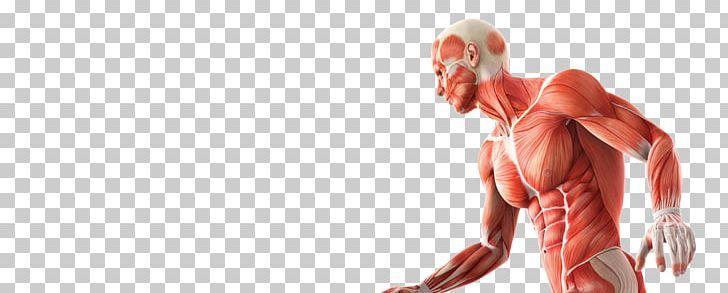 Skeletal Muscle Anatomy Human Skeleton Human Body Png Abdomen Anatomy Arm Biomechanics Chest Skeletal Muscle Anatomy Skeletal Muscle Muscle Anatomy