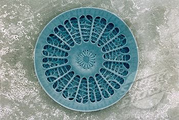 Fractal symmetry in nature - Microscopic View of Diatom (phytoplankton)